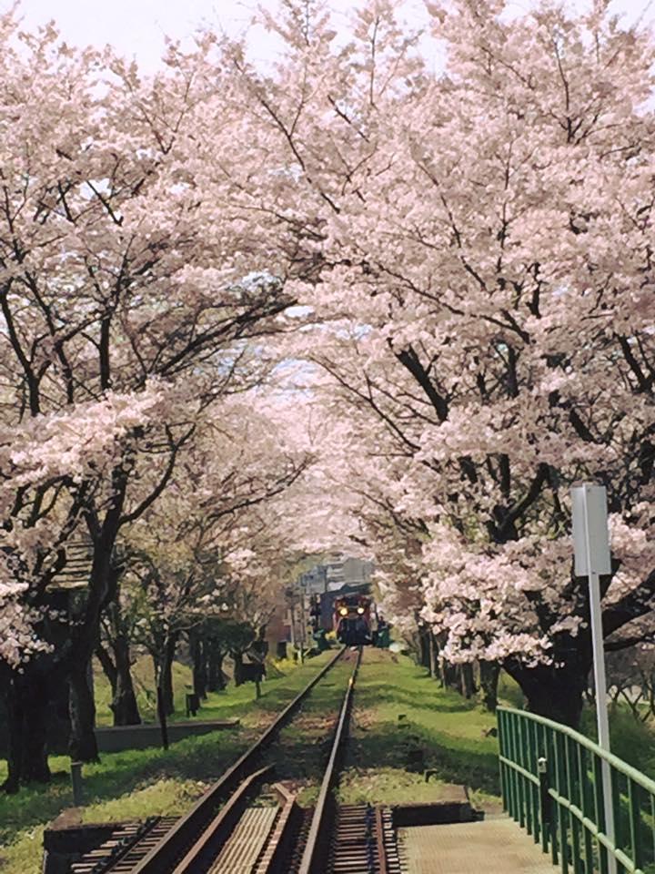 2016年桜
