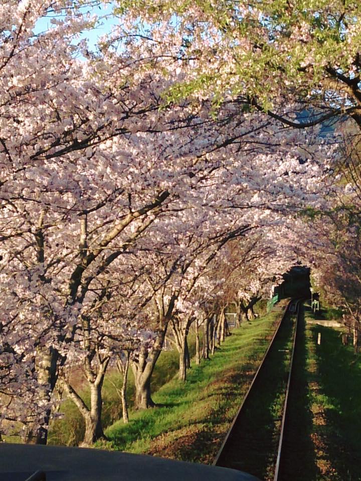 2016年4月嵯峨野観トロッコ桜